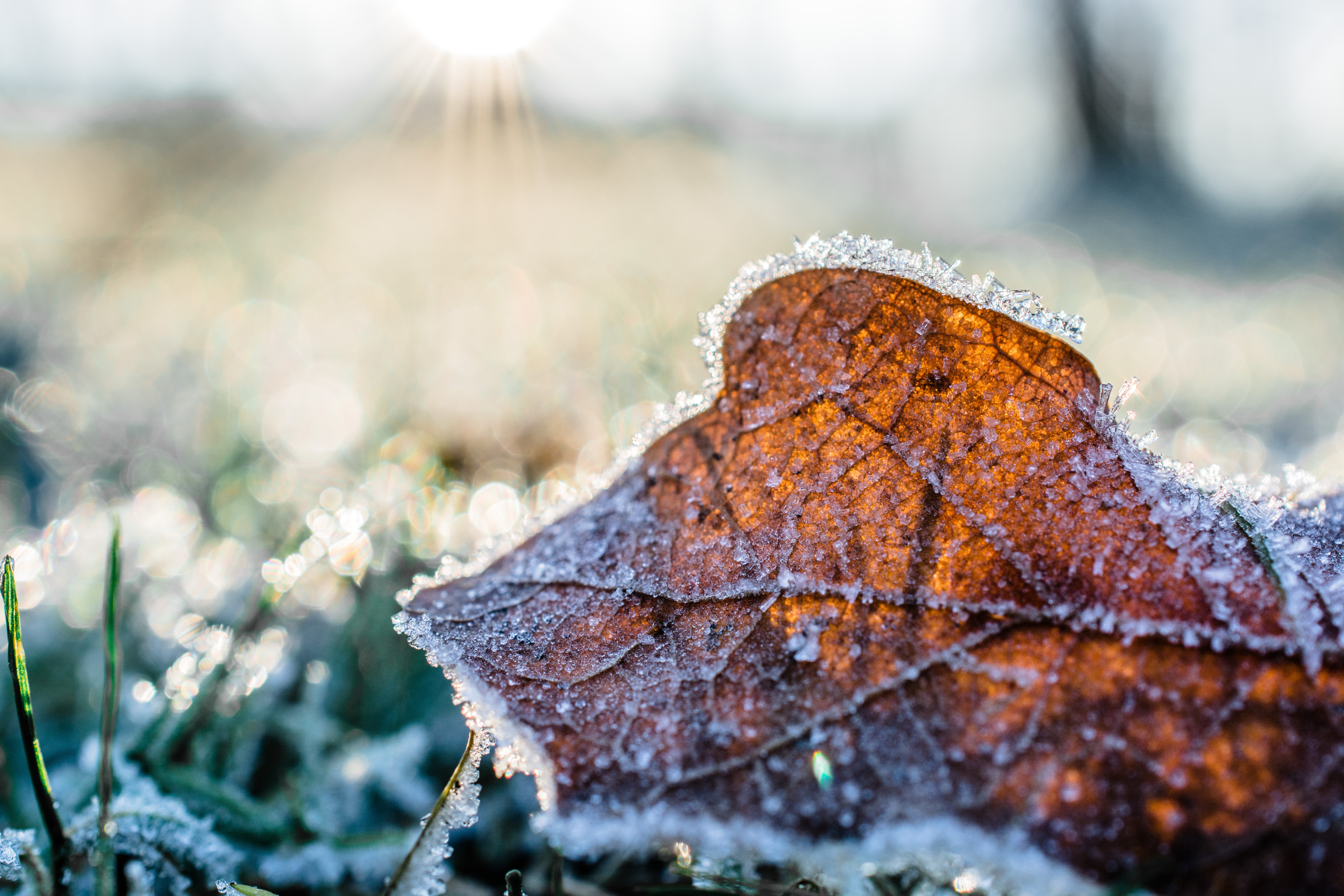 frosty brown leaf during a freeze warning